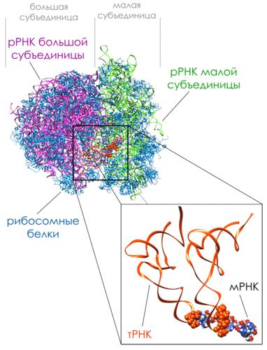 Комплекс 80S рибосома -мРНК-тРНК