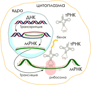 protein synthesis, рибосома, рнк, синтез белка, трансляция