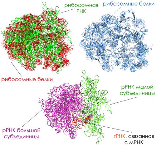 Рибосомные белки и рибосомная РНК, синтез белка