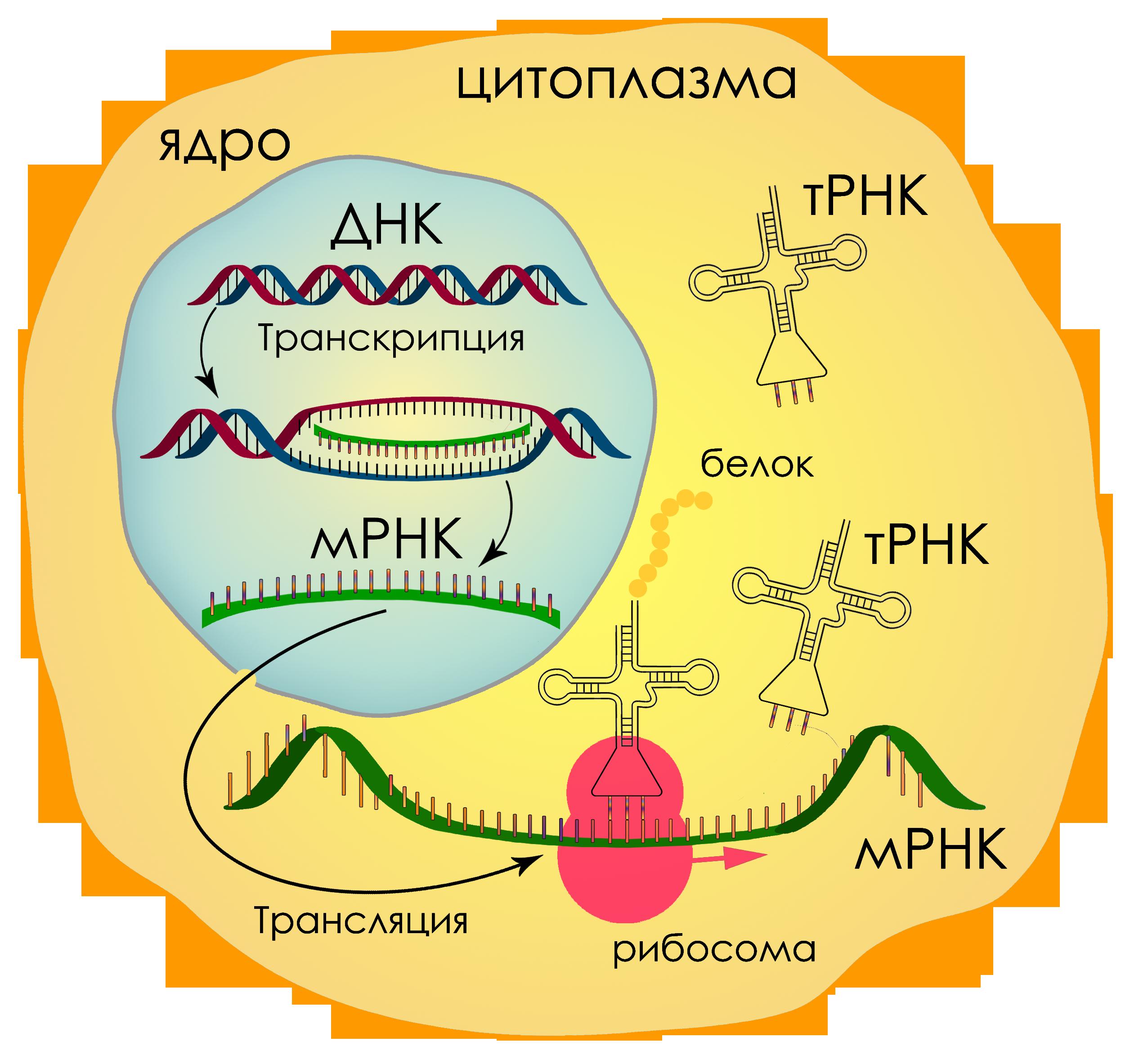 Реферат Биосинтез белка и строение рибосом СТУДЕНТОРИЙ Общая схема биосинтеза белка