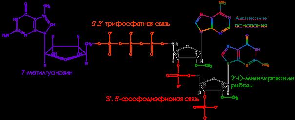 cap, protein synthesis, кэп, кэпированная мрнк, рибосома, рнк, синтез белка, трансляция