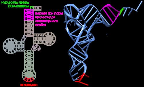 узнавание тРНК аминоацил-тРНК-синтетазами